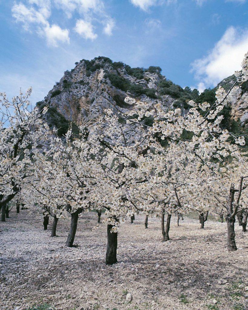Esperando la floración de los cerezos