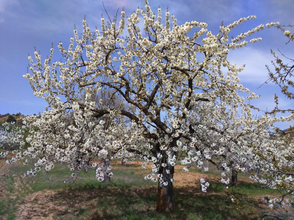 Floración de los cerezos 2019