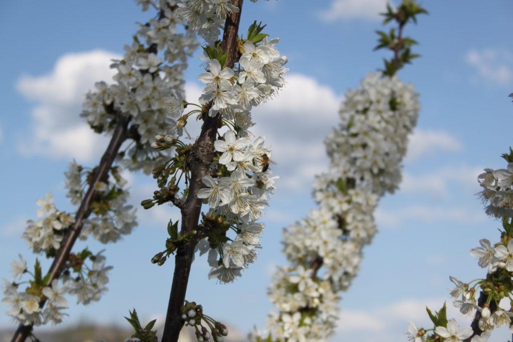 Novedades en la floración de los cerezos